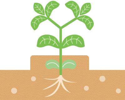 大豆の子葉への倍土