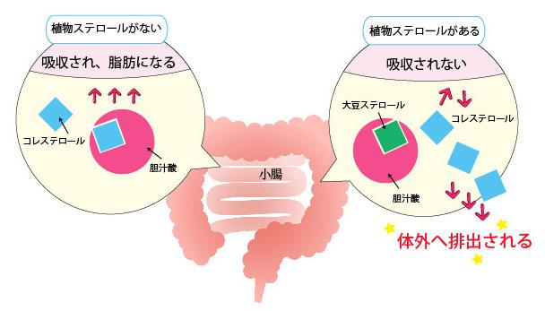コレステロールの吸収メカニズム